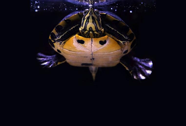 tartaruga d'acqua come tenerla