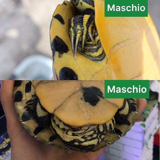Tartaruga d'acqua maschio o femmina
