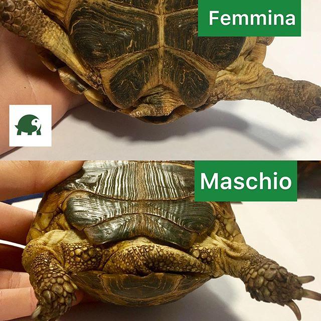 Tartaruga maschio o femmina?