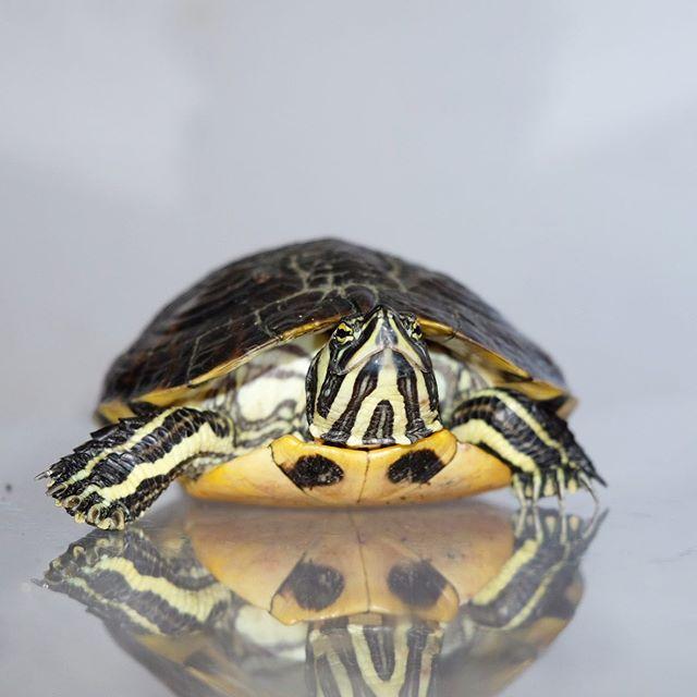 consigli utili per allevare tartarughe d acqua