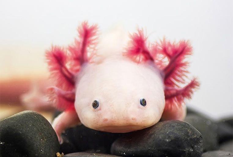 come tenere un axolotl
