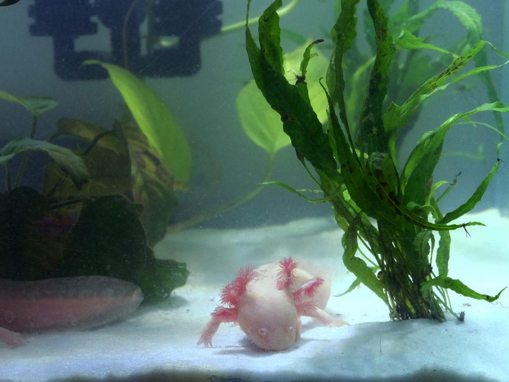 Piante per axolotl