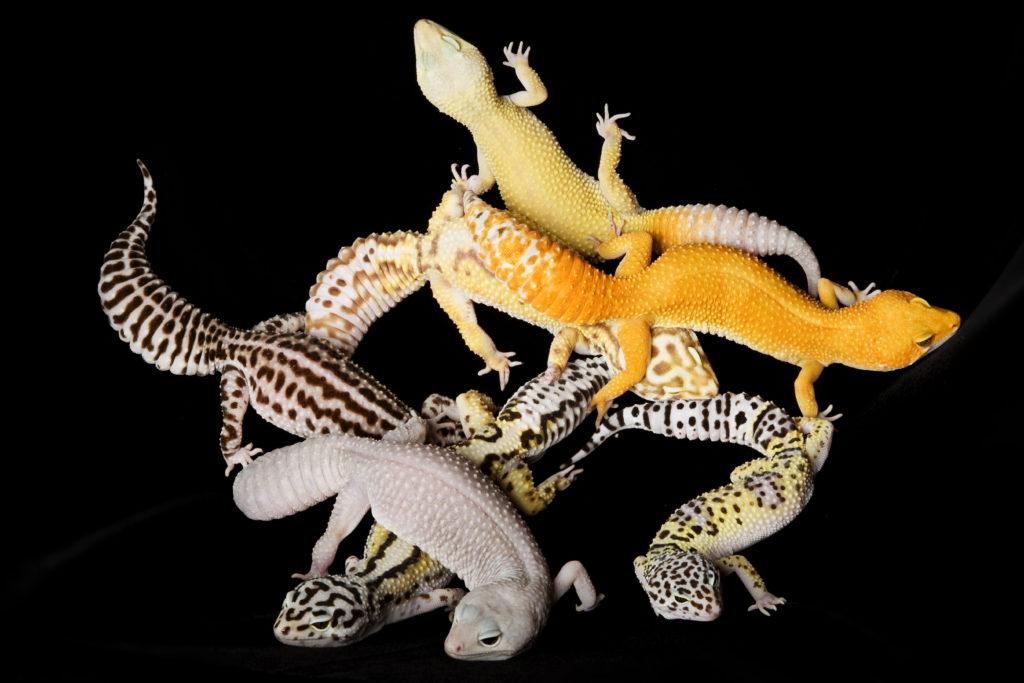 morph dei gechi leopardini
