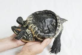 Malattie delle tartarughe acquatiche