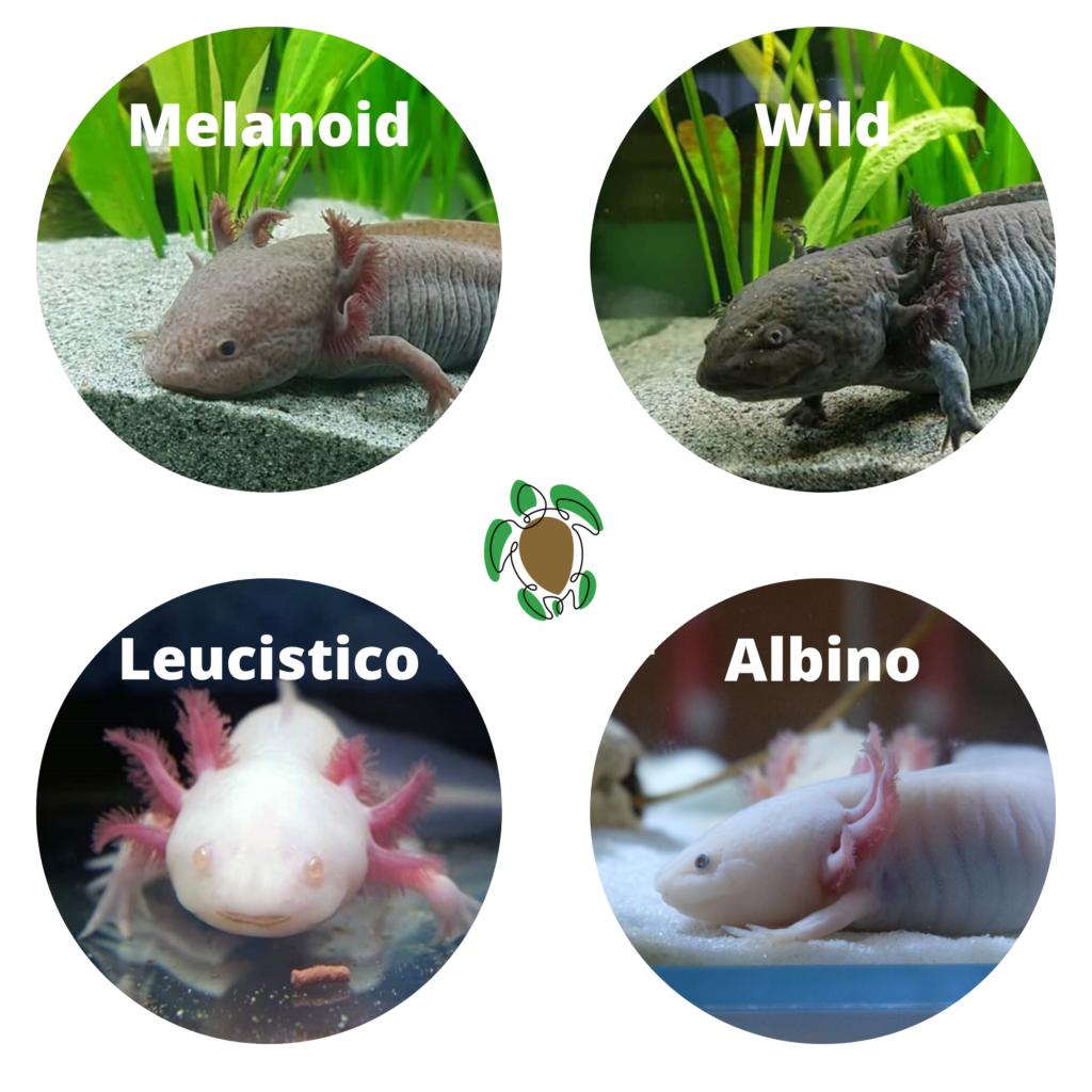 Axolotl colorazioni