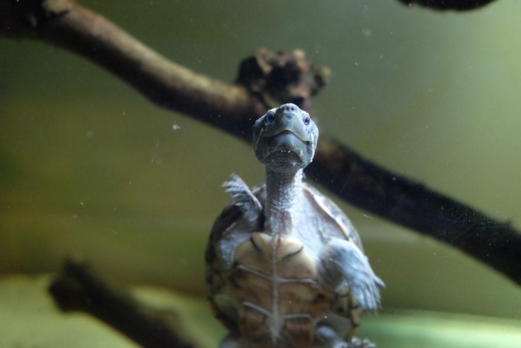 tartarughe d'acqua in vendita a milano