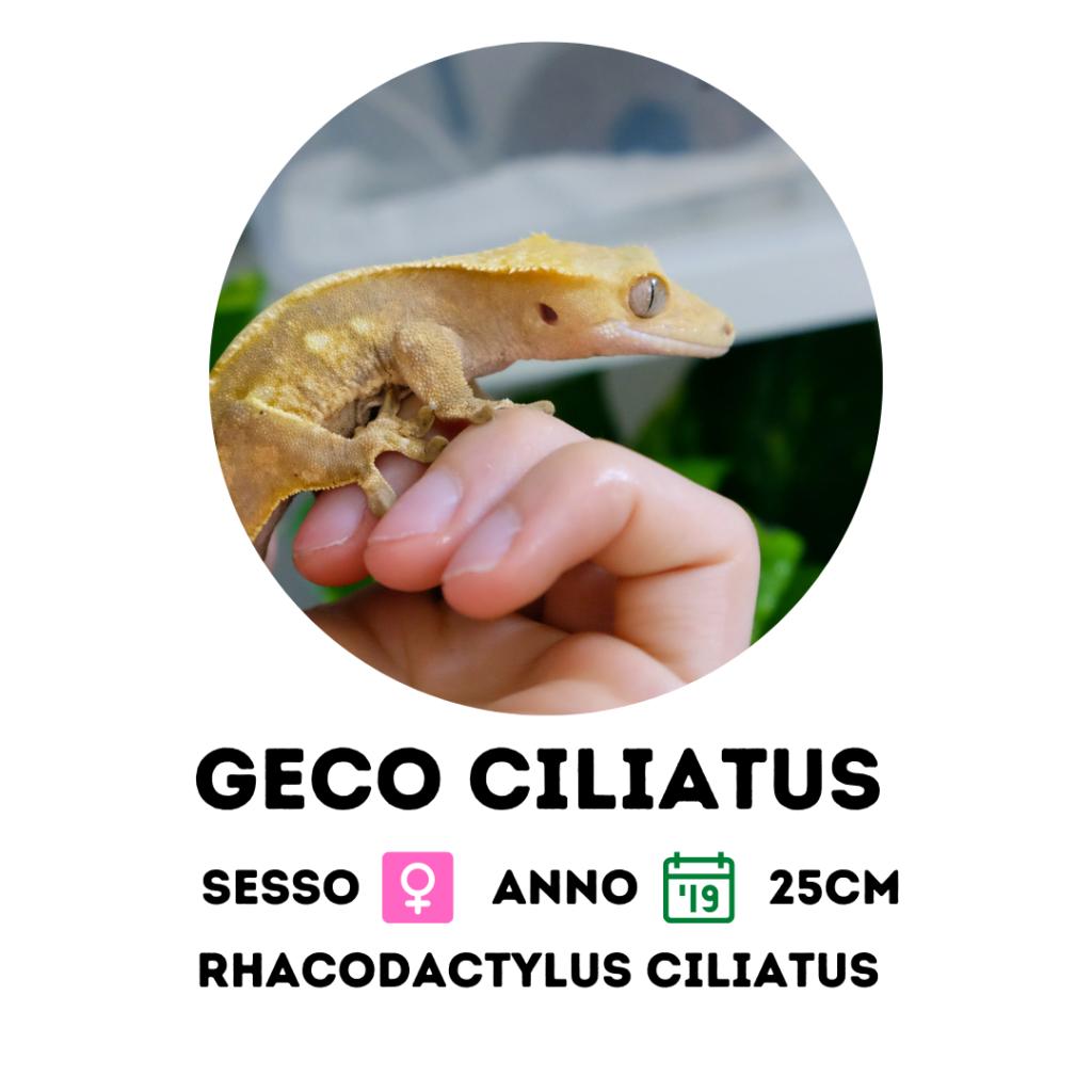 geco ciliatus a milano