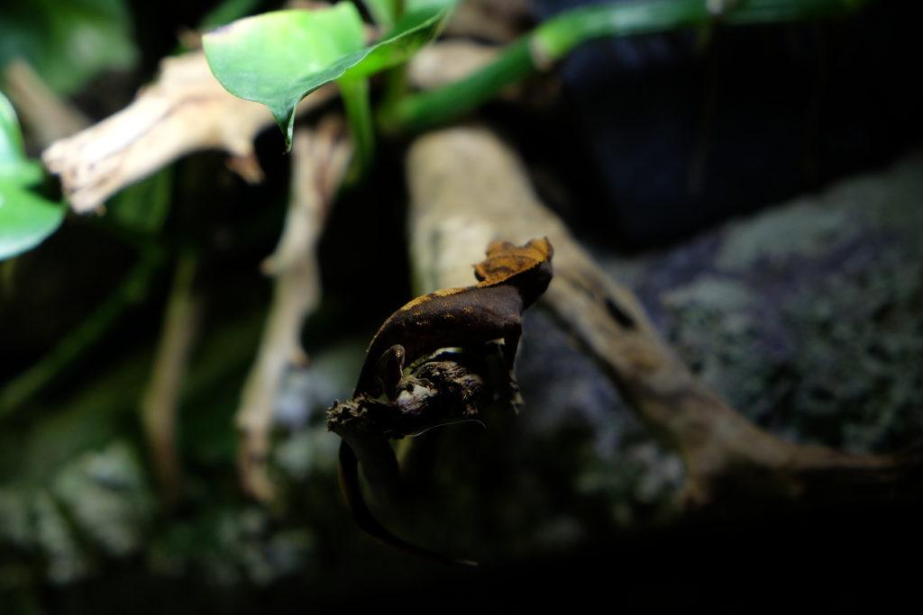 gechi ciliatus in vendita a Milano