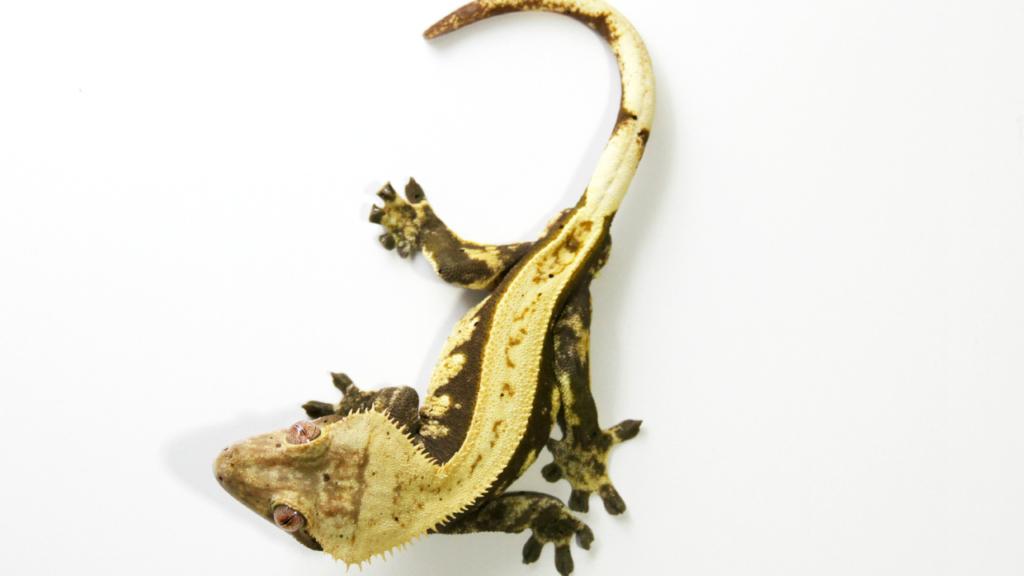 geco ciliatus come si tiene