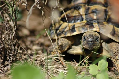 letargo tartarughe di terra