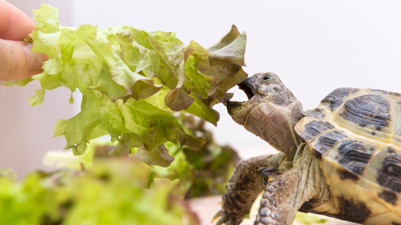 cosa mangiano le tartarughe di terra?