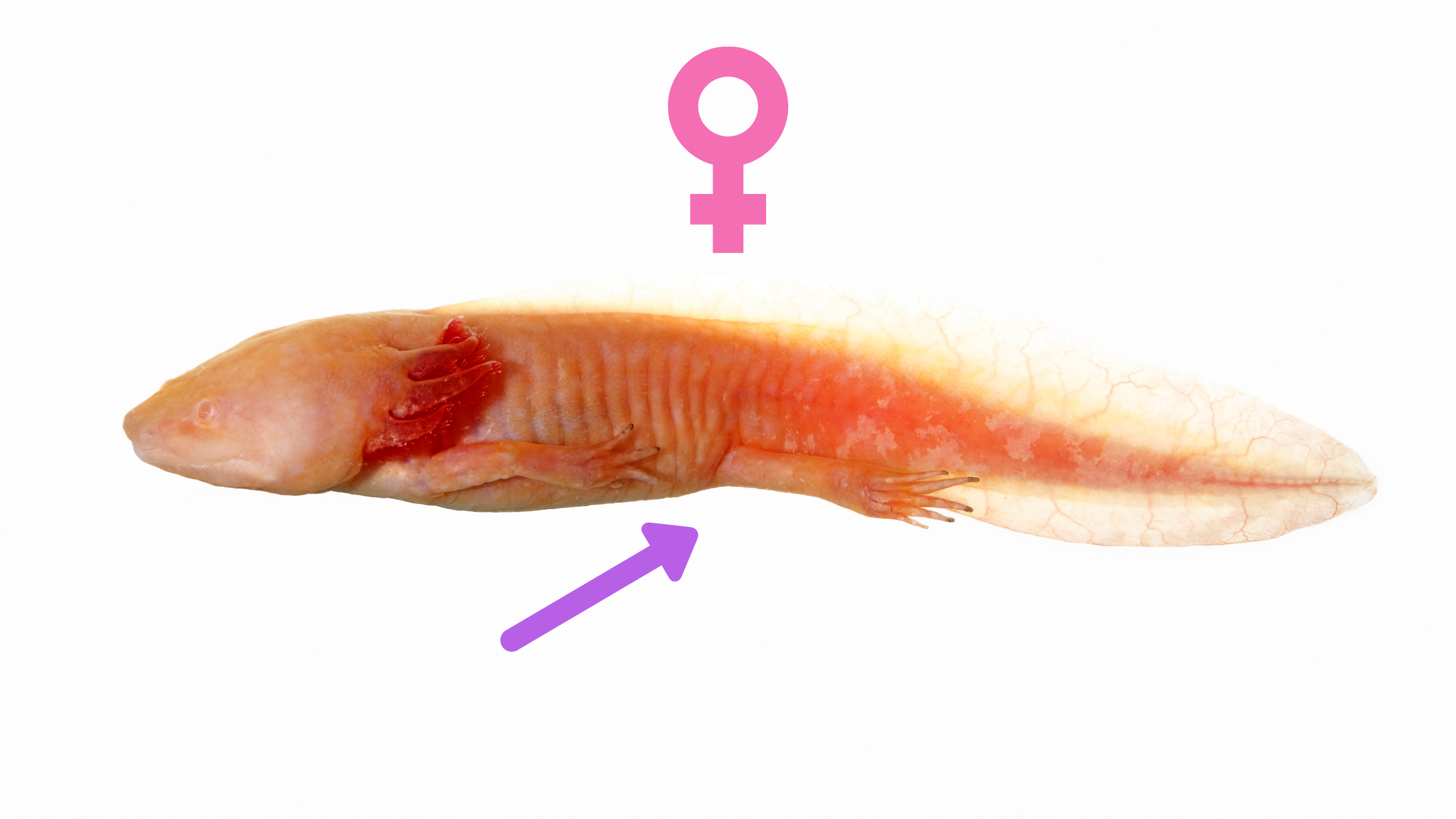 Axolotl femmina