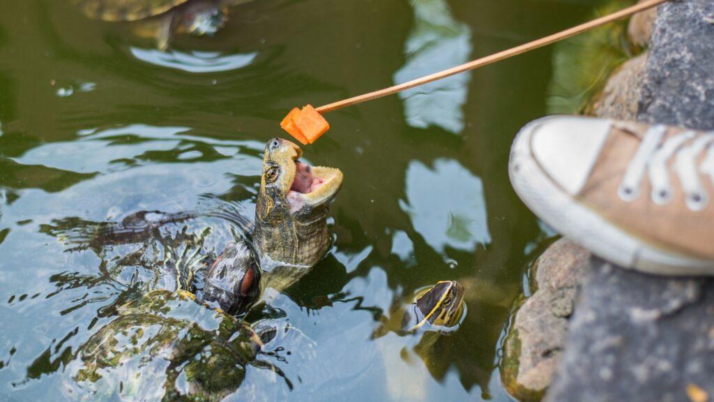 che cosa mangiano le tartarughe d'acqua dolce ?