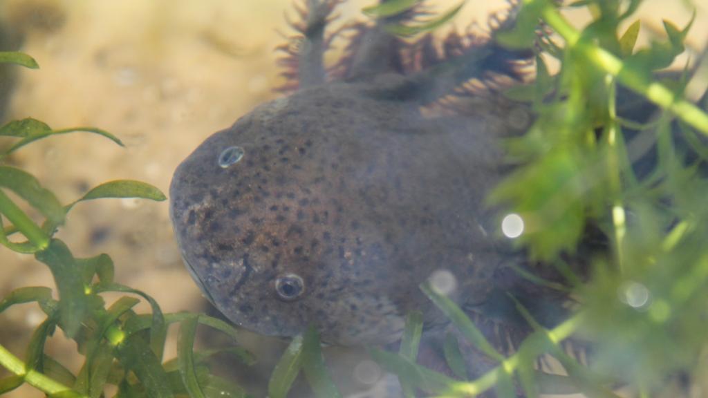 evoluzione dell'axolotl