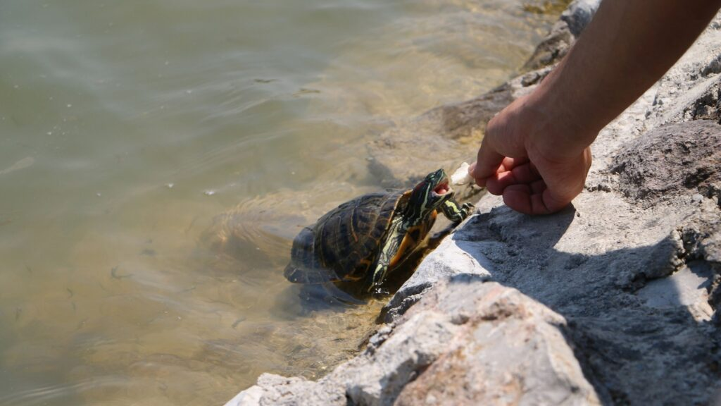 che cosa mangiano le tartarughe d'acqua dolce?