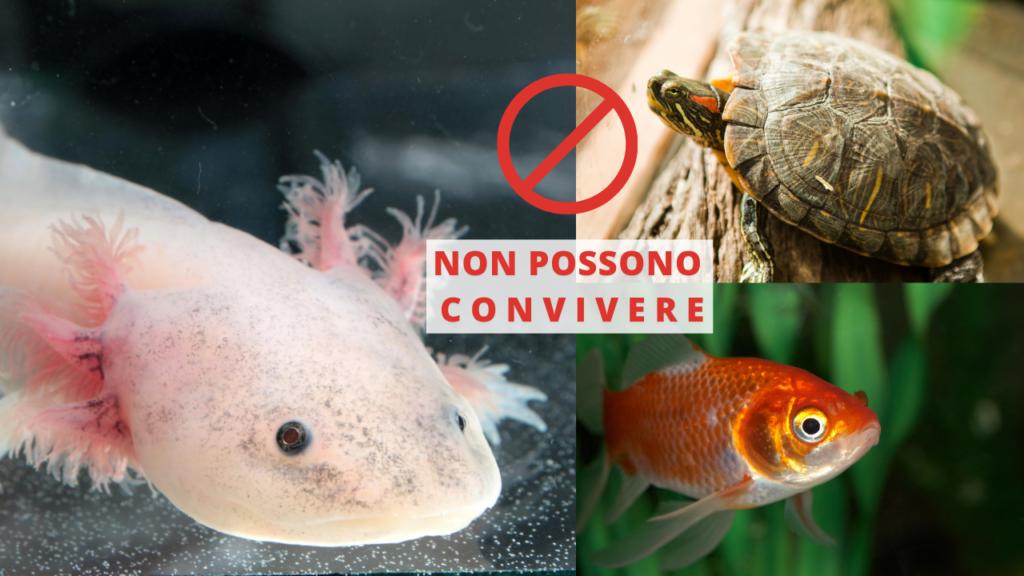 axolotl convivenza con altri animali