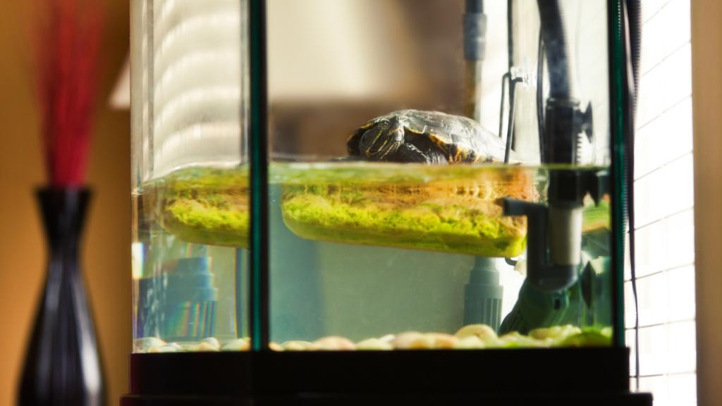 Tartarughe d'acqua livello acqua