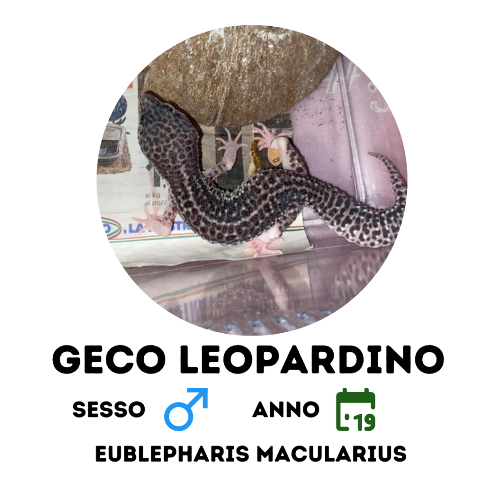 geco leopardino vendita milano