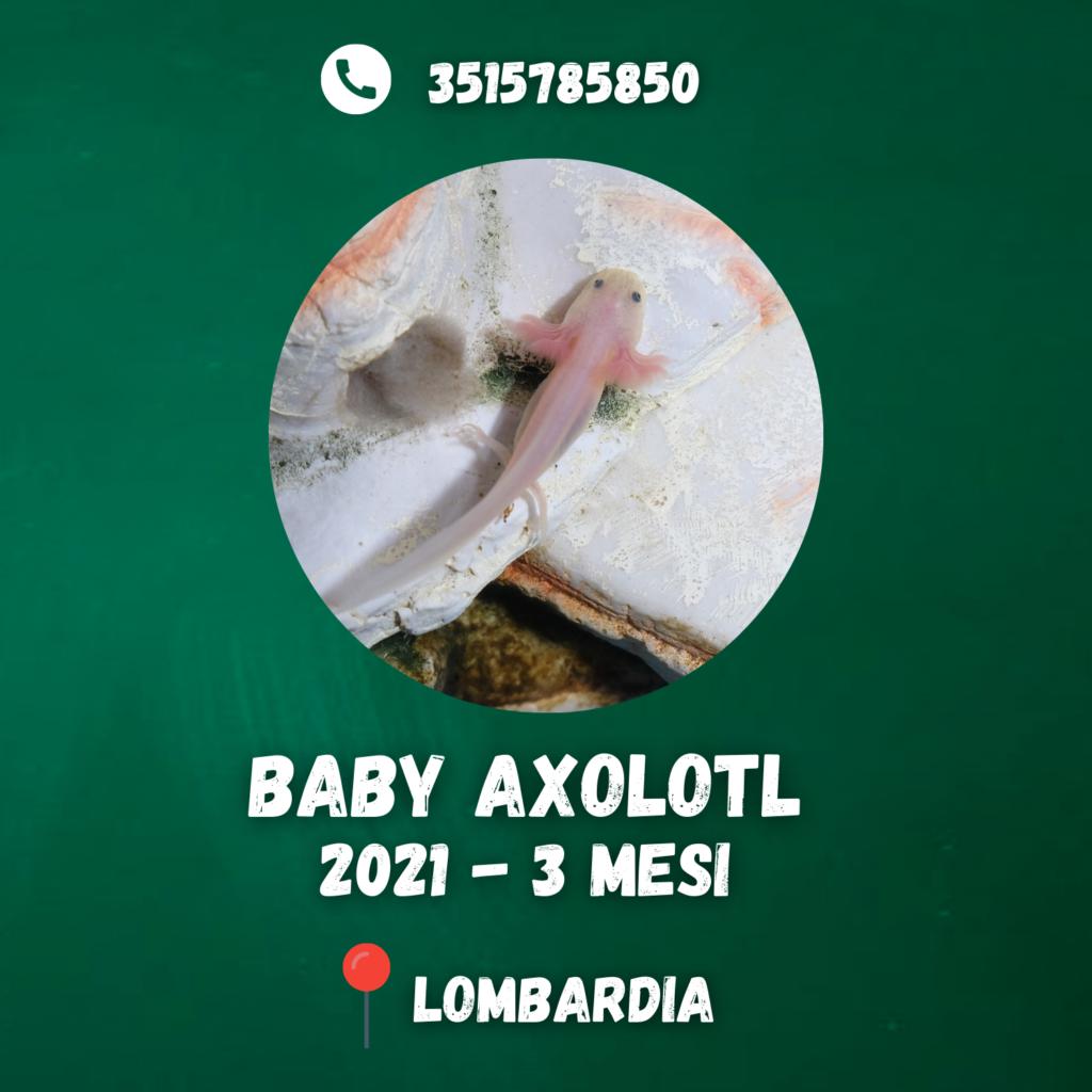 axolotl in vendita a Milano