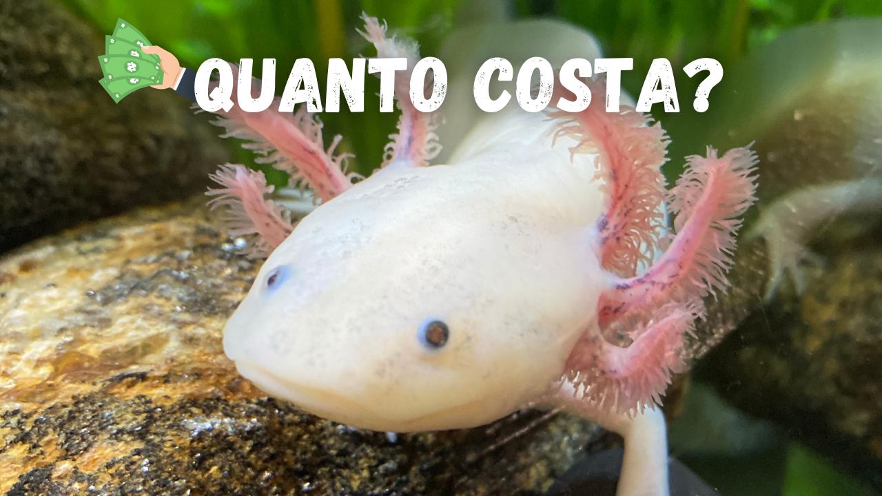 axolotl prezzo leucisitico