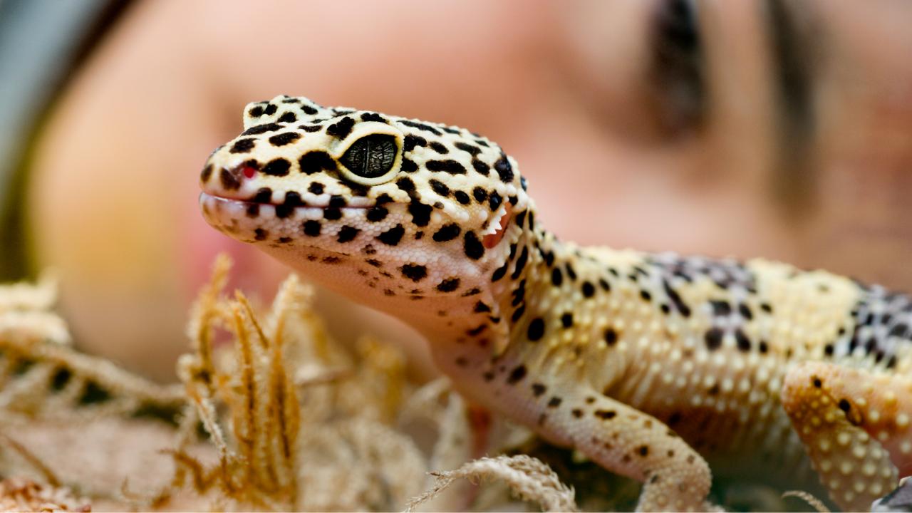 geco leopardino prezzo: quanto costa?