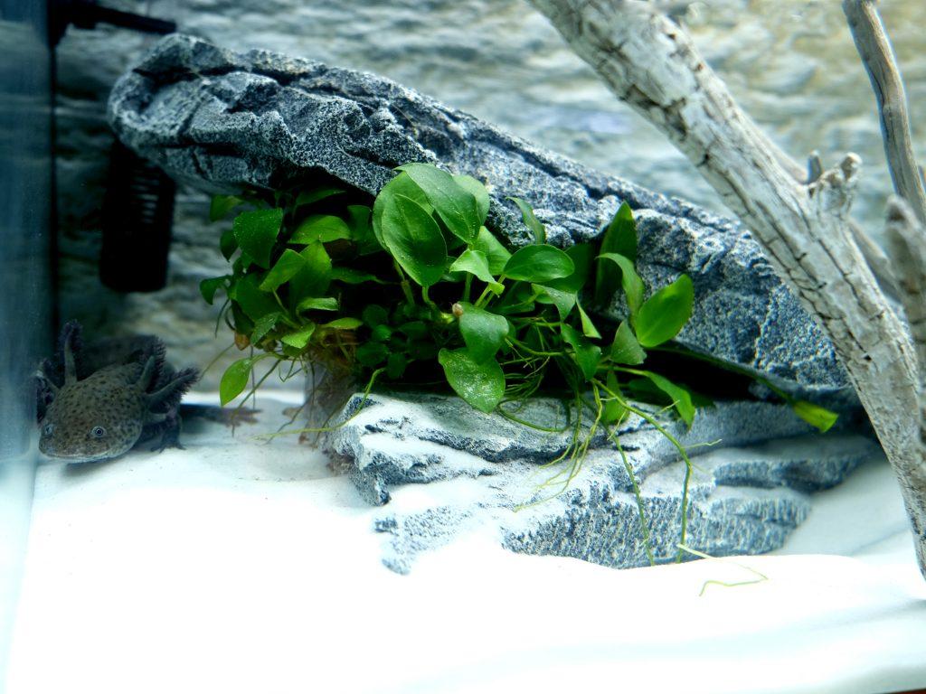 caverna tana axolotl