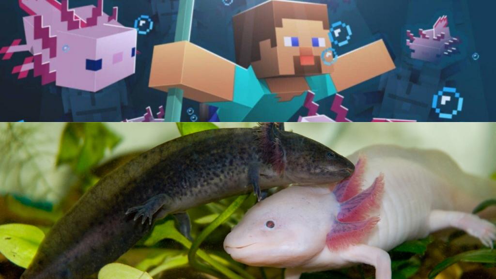 minecraft aquarium axolotl