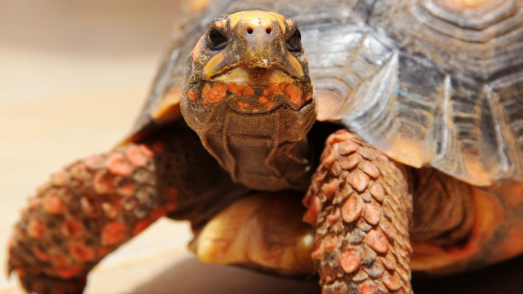 costo tartaruga di terra