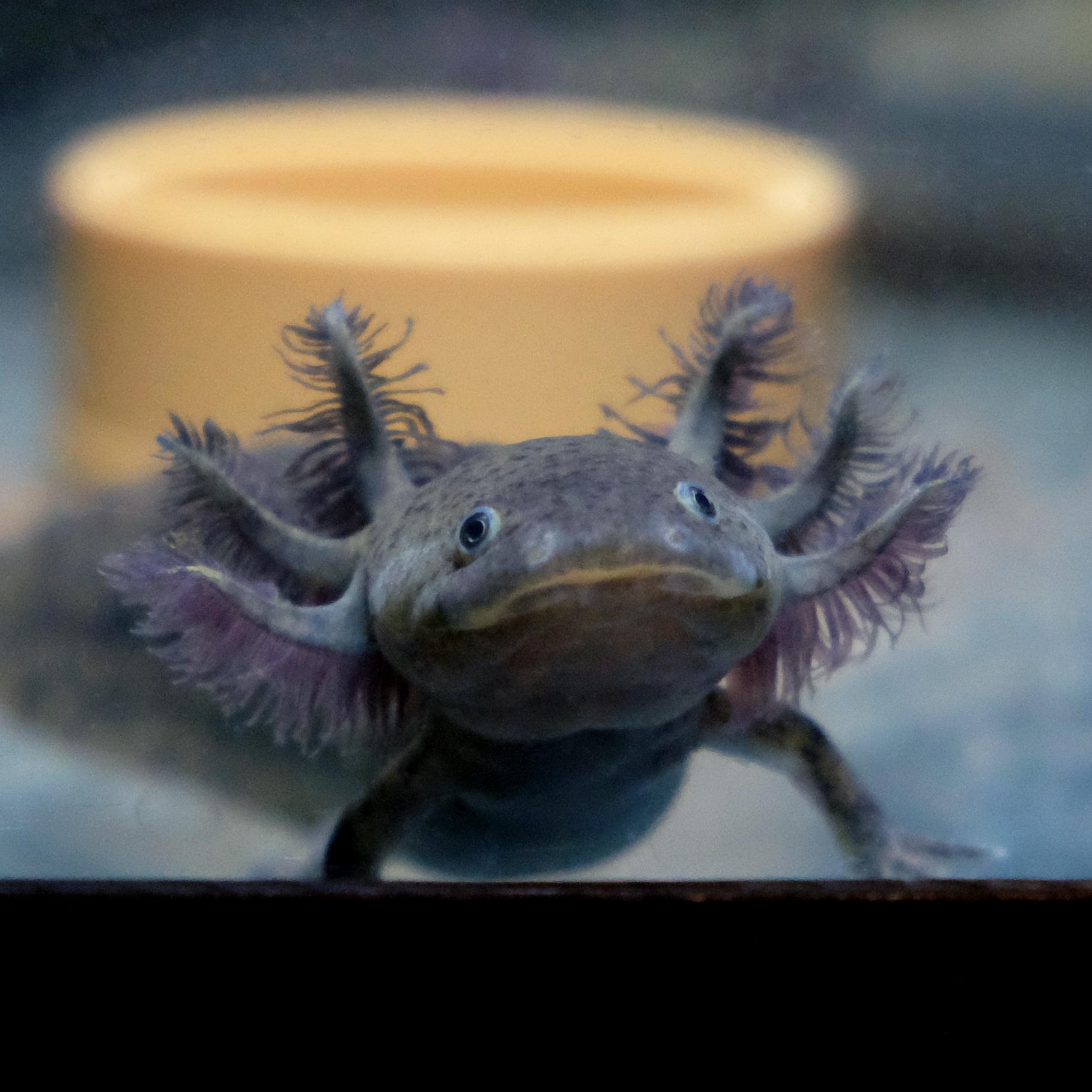 Comprare axolotl wild