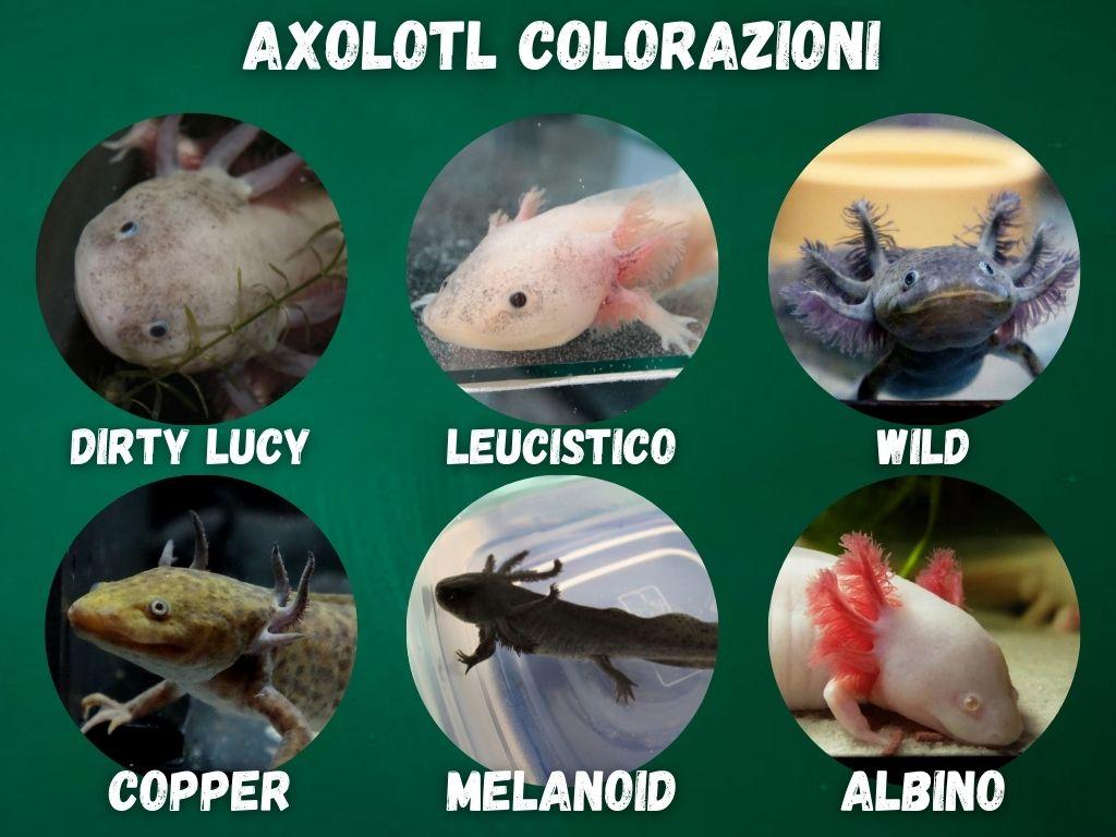 vendita axolotl morph colorazioni
