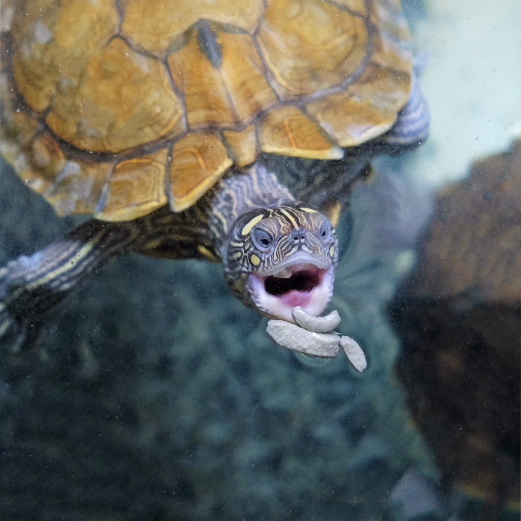 Vendita tartarughe acqua dolce graptemys