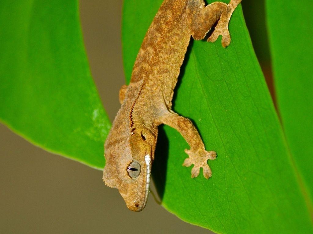 geco ciliatus vendita
