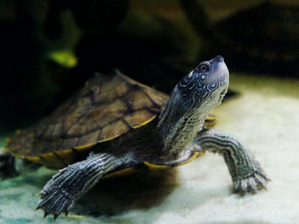 vendiyta tartarughe d'acqua dolce