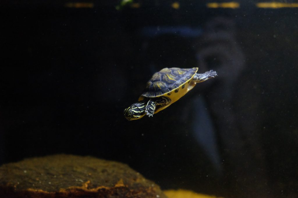 vendita tartarughe acquatiche